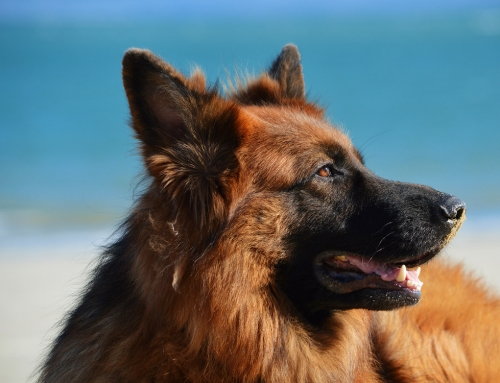 10 Reasons For German Shepherds
